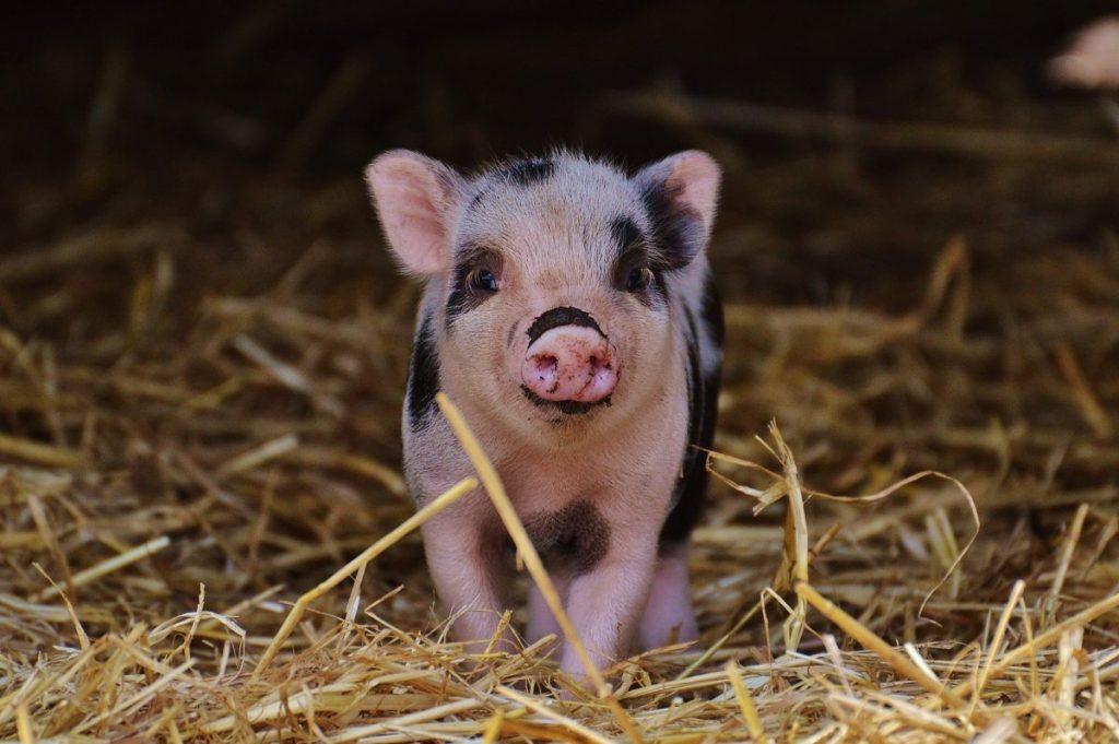 Réflexion sur la grippe porcine.